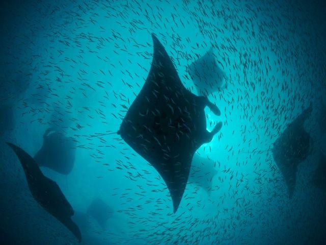 manta-rays-hanifaru-bay_6326_990x742